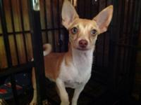 Gorgeous 7 month female chihuahua kennel trained good