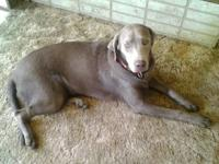 Looking for a great home for my 7 month old AKC silver