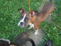 I have a 7 month old (born 12/13/14) female boxer puppy