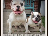 7 month aged women American Bulldog available. She is a