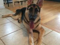 Looking for a new house for my German shepherd. His
