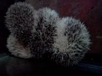 I am selling my hedgehog because I have to many
