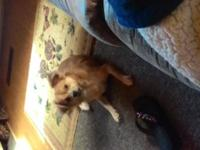 Zeus is a 7 month old longhaired male chihuahua. Not