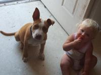 7 month old male pitbull. Very loving has had 2 sets of