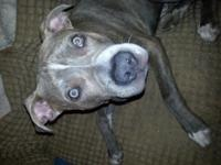 Beautiful bridle male Pitt bull with blue eyes. 7