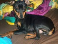 Wiley is a 7 month old miniature pinscher. He is very