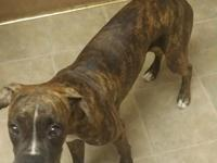 7 Month Old Brindle Male boxer for sale. Residence