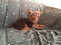 7 month old yorkie puppy looking for his new home. He
