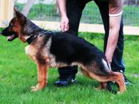 7 months old AKC registered super anatomy and black and