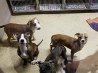 6 females 1 male  pit boxer  mix 3-4 months  includes
