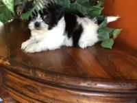 Sweet little female Shorkie looking for her forever