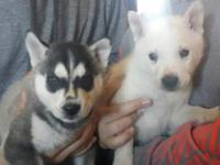 Siberian huskys ready for sale 1000$ each may be