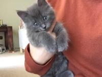 Blue Kittens For Sale : Russian blue kittens for sale in california classifieds buy and