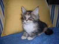 Maine coon kittens, male and female, blue tabby, brown