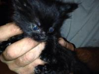 I have 3 male Maine coon mix kittens available at this