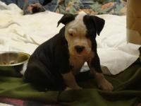 7 week old puppies with papers. dewormed & have had 6