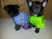 Chorkie puppies all black with a tiny bit of white