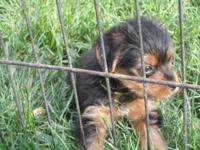 Yorkies 2 males, 1 female ready for new homes on