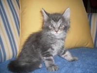 Maine Coon Kittens, male and female, calico, brown