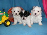 7 week old, 3 male Coton De Tulear/Maltese/Shih Tzu mix