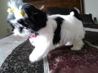 I have one male ckc shih tzu puppy for sale, he is up