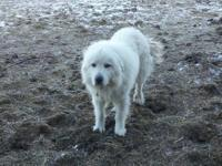 Shorty is a unspayed female Great Pyrenees. She has