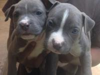 I have 4 white and blue pitbull pups Forsale. The papa