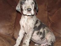 We had a sensational litter of 75 % European Great Dane