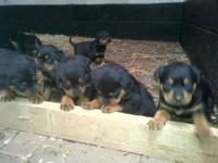 Magnificent litter of beautiful very chunky Rottweiler