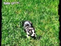 We have 2 female Boston Terrier Puppies 7 weeks old