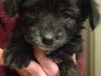 1 Female Yorkie Pomapoo puppy 7 weeks old is left. The