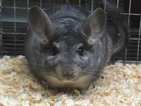 We have a 7 year old standard grey male chinchilla that