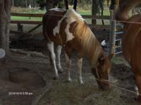 i have a 7 yr old gelding paint,very friendly sound