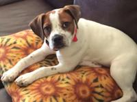 Cute 7month old male beagle/English bulldog. He is utd