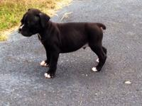 Here People is a Flashy Sealed Brindle, White Chest,.