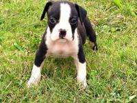Here People is a Flashy Sealed Brindle, White Chest,