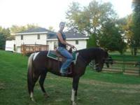 Registered Tennessee walker gelding broke to ride has
