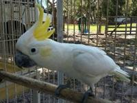8-9 year old female moluccan cockatoo for sale $1200.00