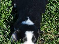We have 8 beautiful Border Collie pups born 10/03/13