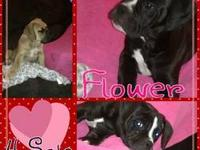 I have 8 Bull terrier puppies looking for homes. They