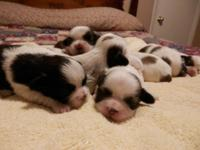 I have 8 Adorable CKC Shih Tzu puppies born on