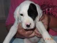 Our family Dalmatian (Paris) was born at the renowned