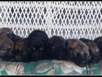 8 Gorgeous German Shepherd puppies for sale out of the