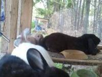 All are French lop/Flemish giant crosses: I have 2, 6