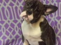 This beautiful Female French Bulldog (may be mixed with