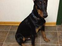 Very Handsome 8 month old doberman pup. Ears Cropped