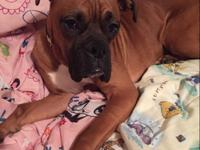 8 month old male boxer puppy for sale, very sweet and