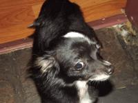 8 month old purebred chihuahua.very very sweet and