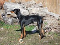 We are selling our 8 month old female black and rust