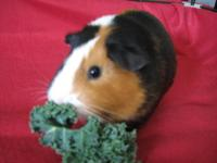 Female guinea pig....comes with cage, stand, litter